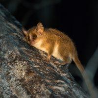Grauer Mausmaki (Microcebus murinus), Madagaskar | Mouse lemur (Microcebus murinus), Madagascar