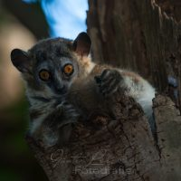 Wieselmaki (Lepilemur Leucopus), Beerenty Reservat,  Madagaskar | Madagascar