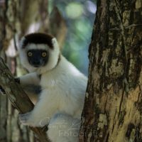 Larvensifaka (Propithecus verreauxi) Nahampoina Reservat, Madagaskar