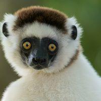 Portrait Larvensifaka (Propithecus verreauxi) Nahampoina Reservat, Madagaskar