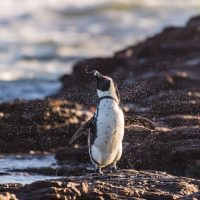 Afrikanischer Brillenpinguin (Speniscus demersus) Diaz Halbinsel, Lüderitz, Lüderitzbucht, Karas,  Namibia |African Penguin, Jackass Penguin (speniscus demersus)Diaz peninsula, Luderitz, Karas,  Namibia