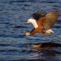 Schreiseeadler (Haliaeetus vocifer), Chobe Nationalpark, Chobe Fluß, Botswana| African Fish Eagle (Haliaeetus vocifer),  Chobe nationalpark, Chobe river, Botsuana