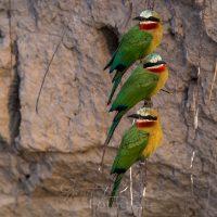 Weißstirnspint, Bienenfresser (Merops bullockoides), Chobe Nationalpark, Chobe Fluß, Botswana| White frontet bee-eater (Merops bullockoides), Chobe nationalpark, Chobe river, Botsuana