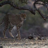 Gepard (Acinonyx jubatus), Mashatu Game Reserve, Tuli Block, Botswana| Cheetah (Acinonyx jubatus), Mashatu Game Reserve, Tuli Block, Botsuana