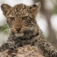 Leopard (Panthera pardus) Jungtier auf Baum, Mashatu Game Reserve, Tuli Block, Botswana|Leopard (Panthera pardus) juvenil on  a tree, Mashatu Game Reserve, Tuli Block, Botsuana