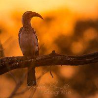 Südlicher Gelbschnabeltoko (Tockus leucomelas), Mashatu Game Reserve, Tuli Block, Botswana|southern yellow-billed hornbill (Tockus leucomelas), Mashatu Game Reserve, Tuli Block, Botsuana