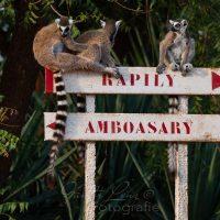 Katta (Lemur catta), Berenty Privates Reservat, Androy-Gebiet, Madagaskar | Ringtaile-lemur (Lemur catta), Camp Catta, Berenty Privat Nature Reserve, Androy area, Madagascar
