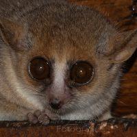 Berthe-Mausmaki (Microcebus berthae), Kirindy, Madagaskar | Madame Berthe's mouse lemur, Mouse lemur (Microcebus murinus), Kirindy, Madagascar