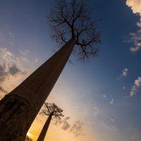 Baobaballee, Morondava, Madagaskar | Baobab allee, Morondava, Madagascar