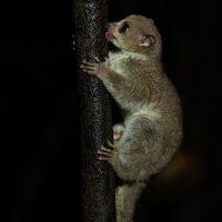 Westlicher Fettschwanzmaki (Cheirogaleus medius), Palmarium, Ankanin ny Nofy, Kanal de Pangalanes, Madagaskar | Fat-tailed dwarf lemur (Cheirogaleus medius)Palmarium, Ankanin ny Nofy, canal de Pangalanes, Madagascar